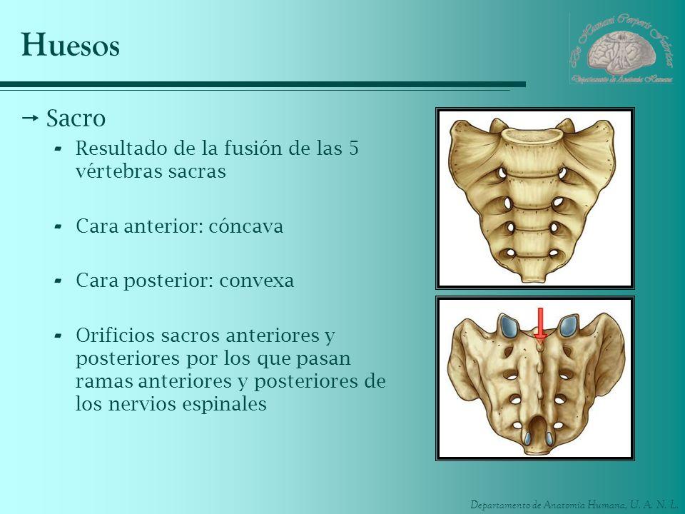 Departamento de Anatomía Humana, U. A. N. L. Huesos Sacro - Resultado de la fusión de las 5 vértebras sacras - Cara anterior: cóncava - Cara posterior