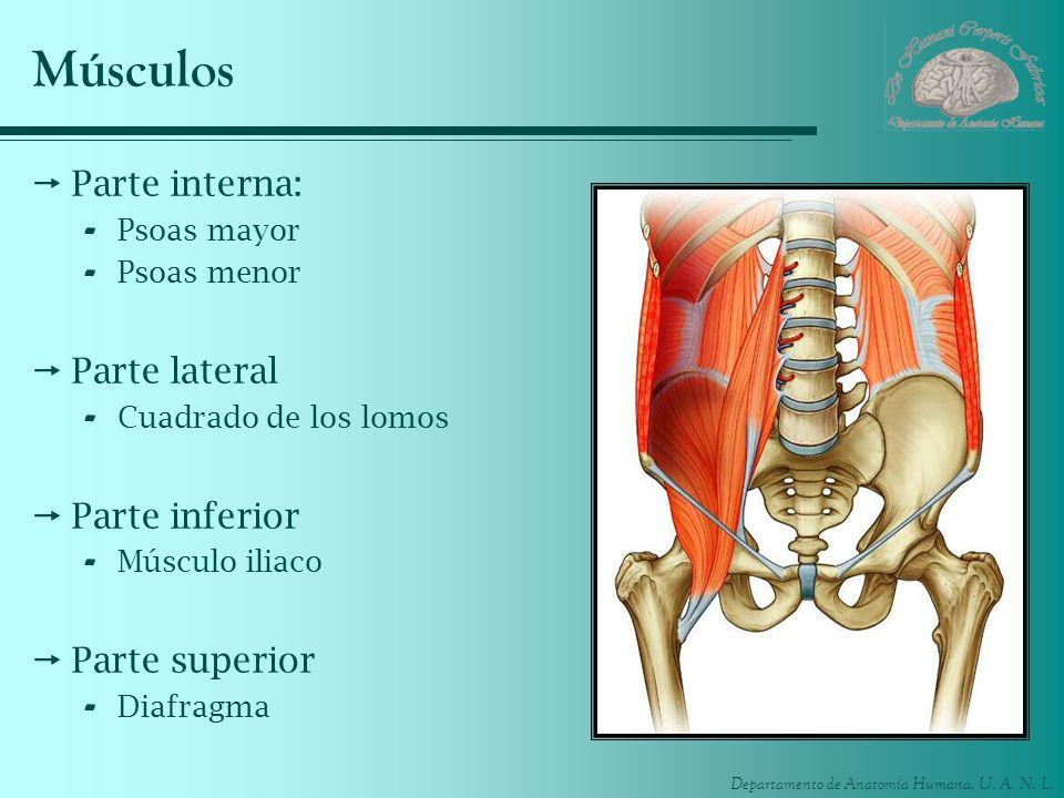 Departamento de Anatomía Humana, U. A. N. L. Músculos Parte interna: - Psoas mayor - Psoas menor Parte lateral - Cuadrado de los lomos Parte inferior