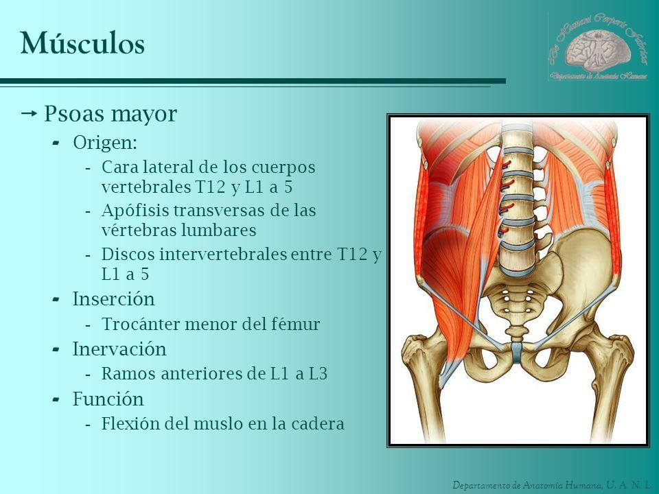 Departamento de Anatomía Humana, U. A. N. L. Músculos Psoas mayor - Origen: -Cara lateral de los cuerpos vertebrales T12 y L1 a 5 -Apófisis transversa