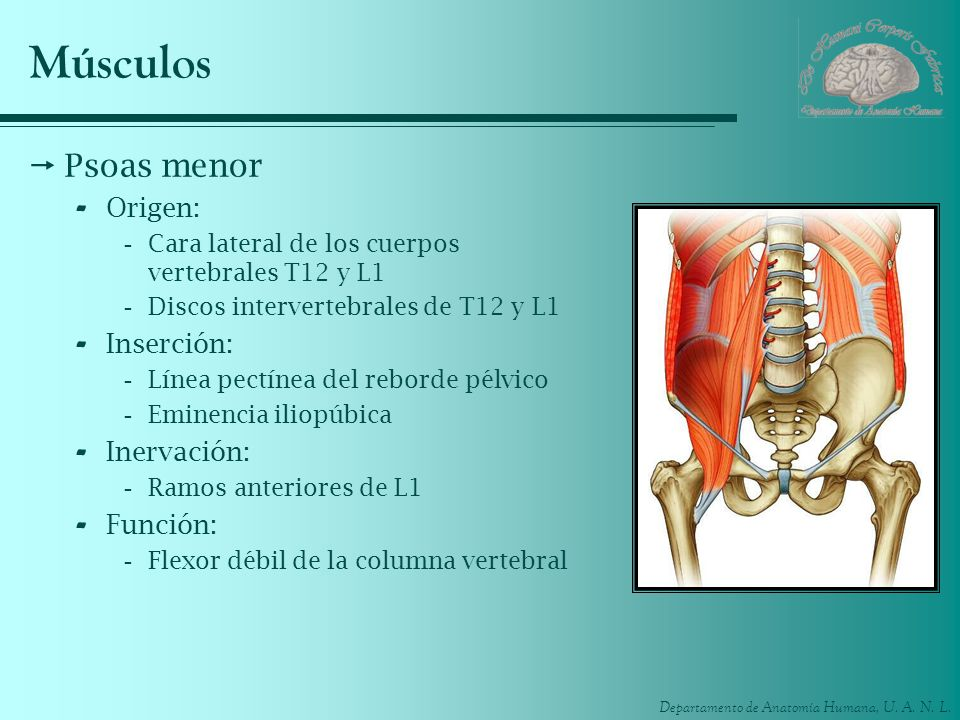 Departamento de Anatomía Humana, U. A. N. L. Músculos Psoas menor - Origen: -Cara lateral de los cuerpos vertebrales T12 y L1 -Discos intervertebrales