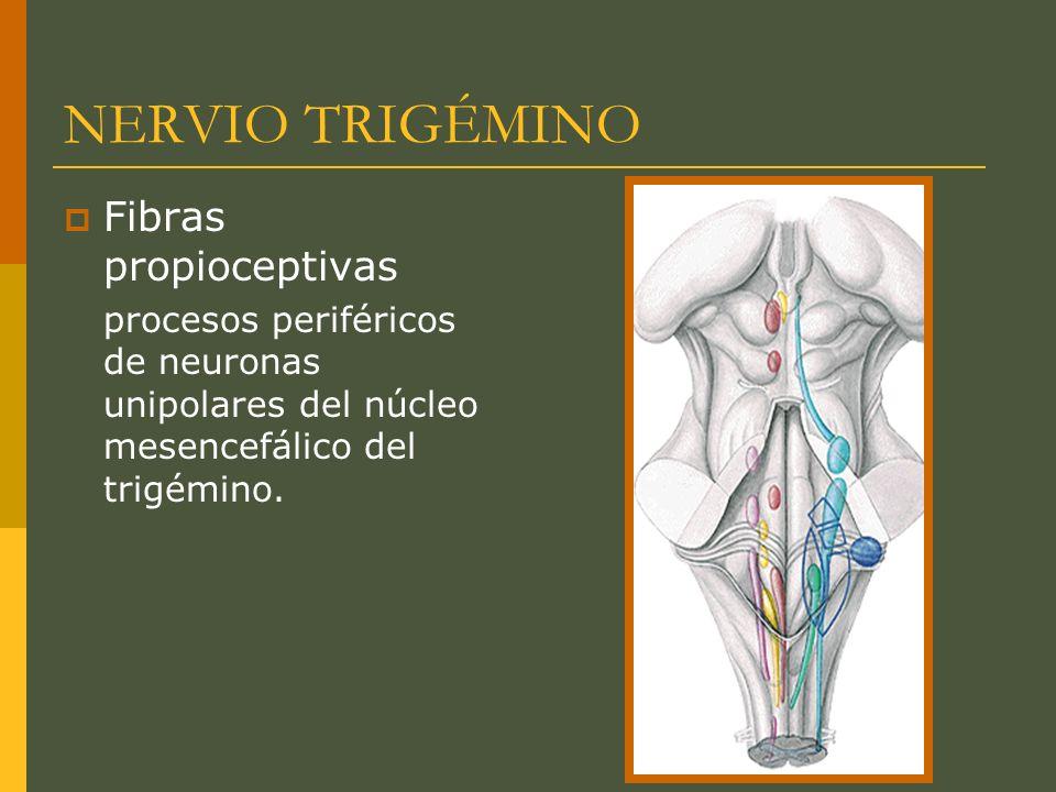 NERVIO TRIGÉMINO Fibras propioceptivas procesos periféricos de neuronas unipolares del núcleo mesencefálico del trigémino.