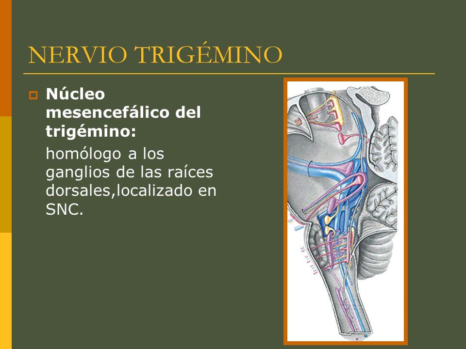 NERVIO TRIGÉMINO Núcleo mesencefálico del trigémino: homólogo a los ganglios de las raíces dorsales,localizado en SNC.