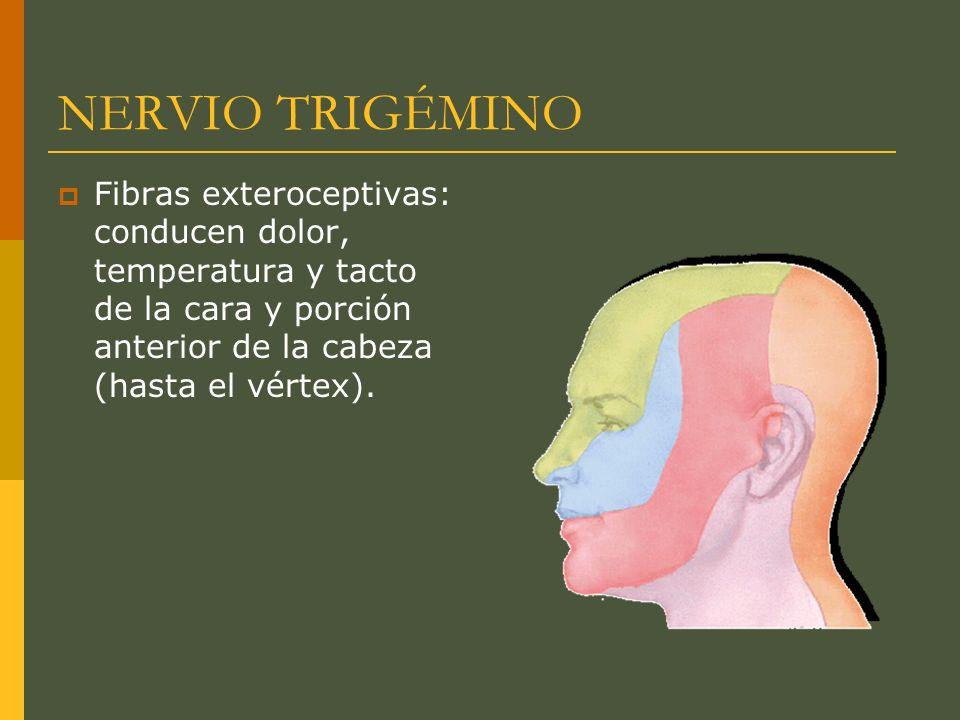 NERVIO TRIGÉMINO Fibras exteroceptivas: conducen dolor, temperatura y tacto de la cara y porción anterior de la cabeza (hasta el vértex).