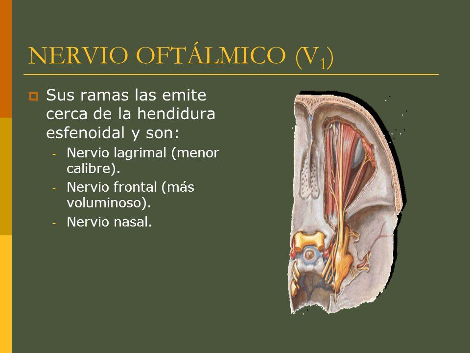 NERVIO OFTÁLMICO (V 1 ) Sus ramas las emite cerca de la hendidura esfenoidal y son: - Nervio lagrimal (menor calibre). - Nervio frontal (más voluminos