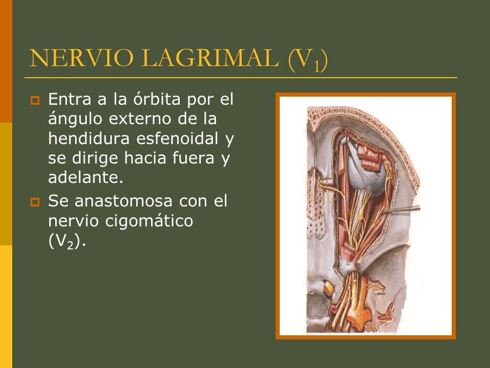 NERVIO LAGRIMAL (V 1 ) Entra a la órbita por el ángulo externo de la hendidura esfenoidal y se dirige hacia fuera y adelante. Se anastomosa con el ner