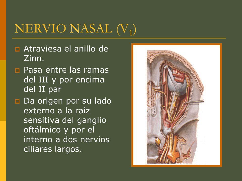 NERVIO NASAL (V 1 ) Atraviesa el anillo de Zinn. Pasa entre las ramas del III y por encima del II par Da origen por su lado externo a la raíz sensitiv