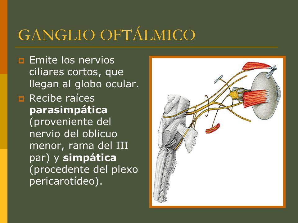 GANGLIO OFTÁLMICO Emite los nervios ciliares cortos, que llegan al globo ocular. Recibe raíces parasimpática (proveniente del nervio del oblicuo menor