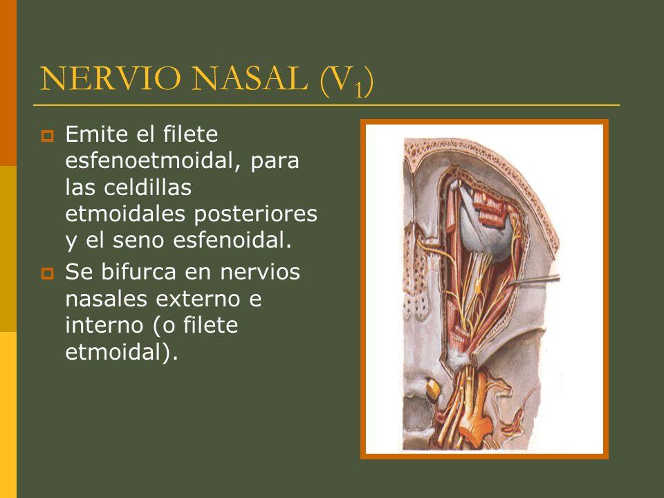 NERVIO NASAL (V 1 ) Emite el filete esfenoetmoidal, para las celdillas etmoidales posteriores y el seno esfenoidal. Se bifurca en nervios nasales exte