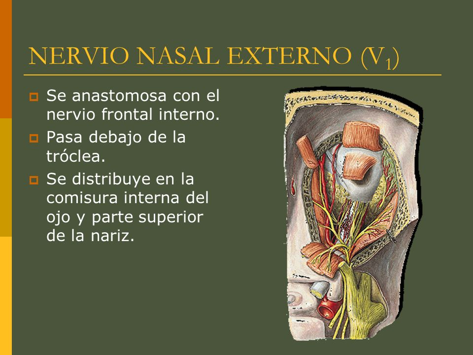 NERVIO NASAL EXTERNO (V 1 ) Se anastomosa con el nervio frontal interno. Pasa debajo de la tróclea. Se distribuye en la comisura interna del ojo y par