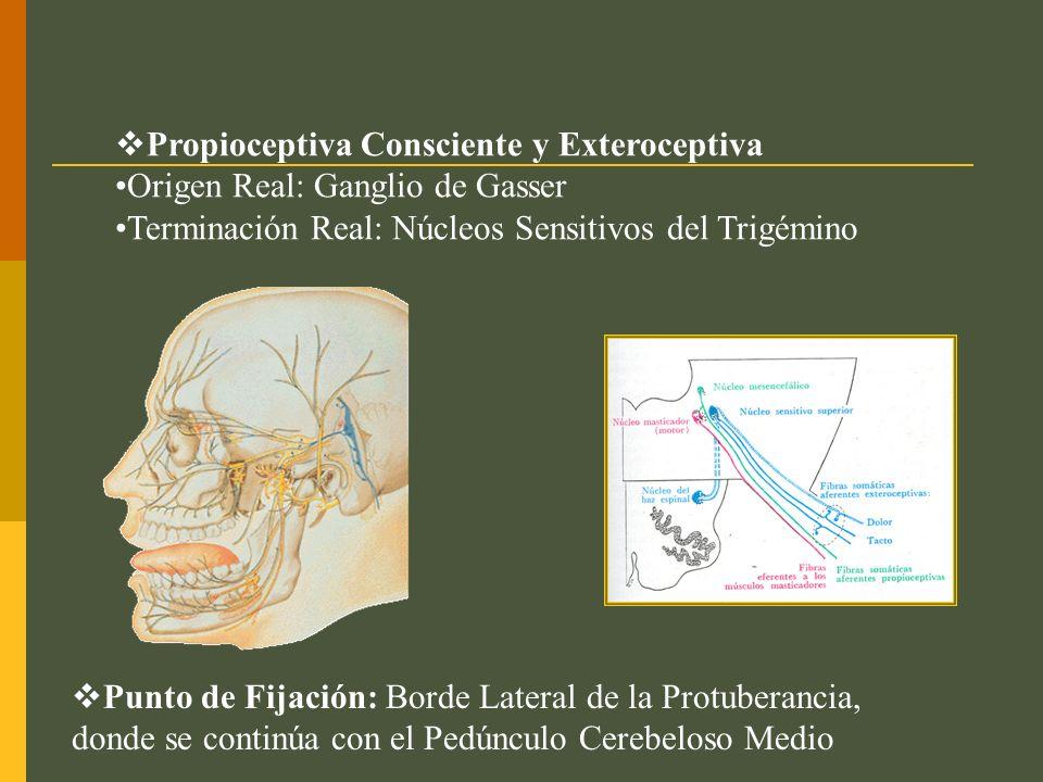 NERVIO FRONTAL EXTERNO (V 1 ) Continuación directa del nervio frontal y se divide en ramos interno y externo.