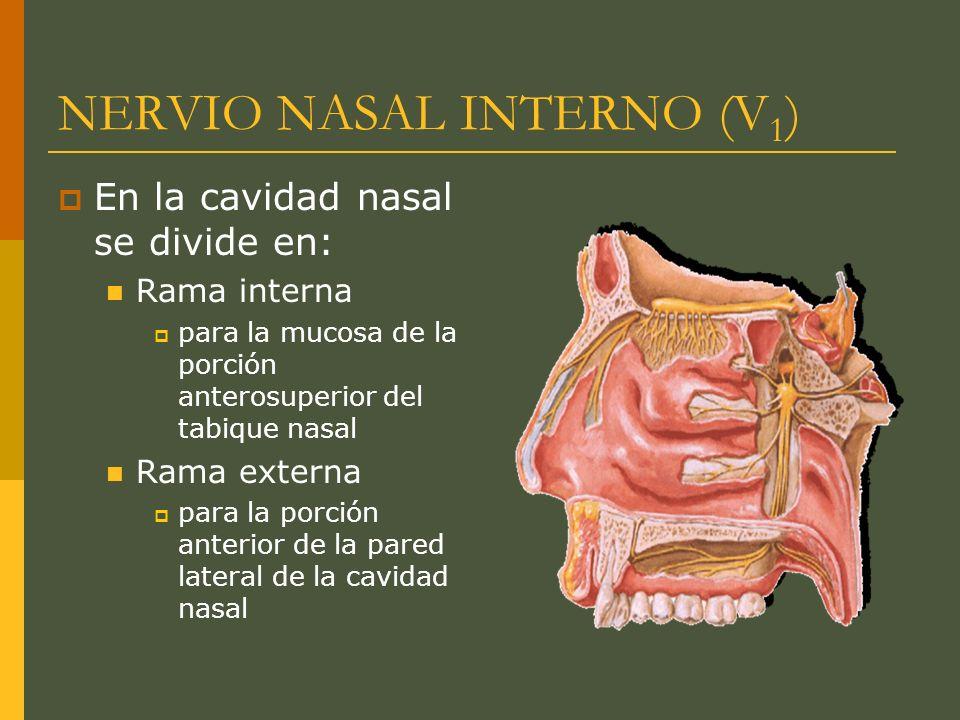 NERVIO NASAL INTERNO (V 1 ) En la cavidad nasal se divide en: Rama interna para la mucosa de la porción anterosuperior del tabique nasal Rama externa
