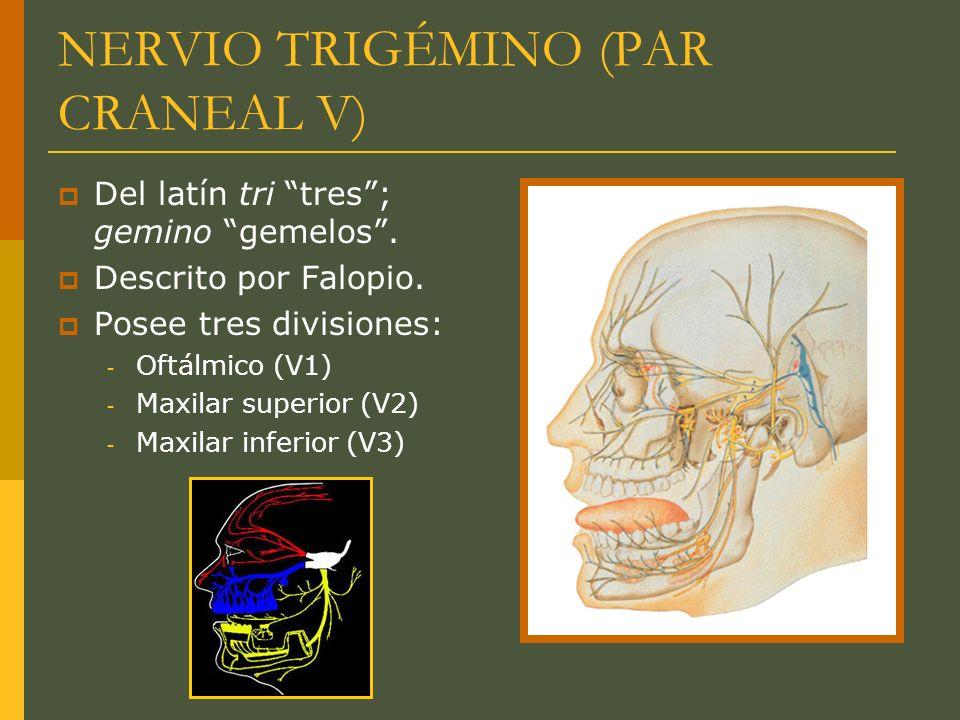 NERVIO TRIGÉMINO (PAR CRANEAL V) Del latín tri tres; gemino gemelos. Descrito por Falopio. Posee tres divisiones: - Oftálmico (V1) - Maxilar superior