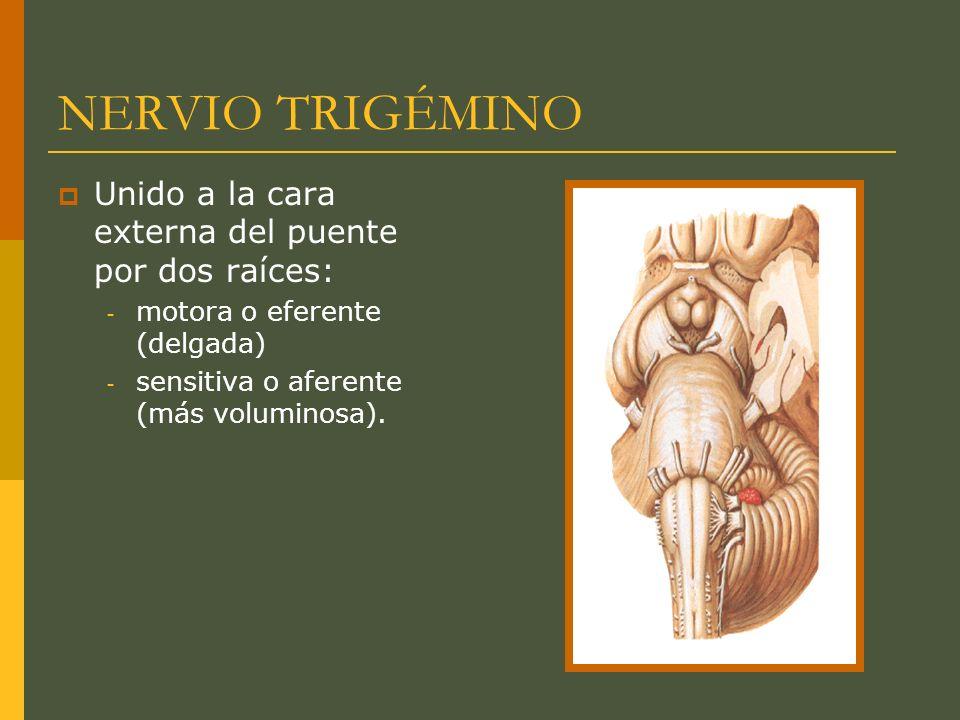 NERVIO TRIGÉMINO Raíz sensitiva: - Origen en el cavum de Meckel a partir del ganglio trigeminal (de Gasser).