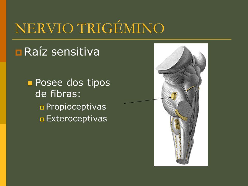 NERVIO TRIGÉMINO Raíz sensitiva Posee dos tipos de fibras: Propioceptivas Exteroceptivas