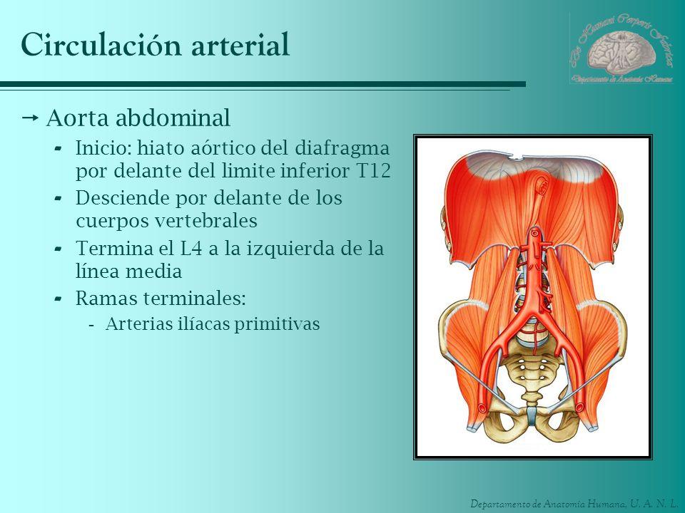 Departamento de Anatomía Humana, U. A. N. L. Circulación arterial Aorta abdominal - Inicio: hiato aórtico del diafragma por delante del limite inferio