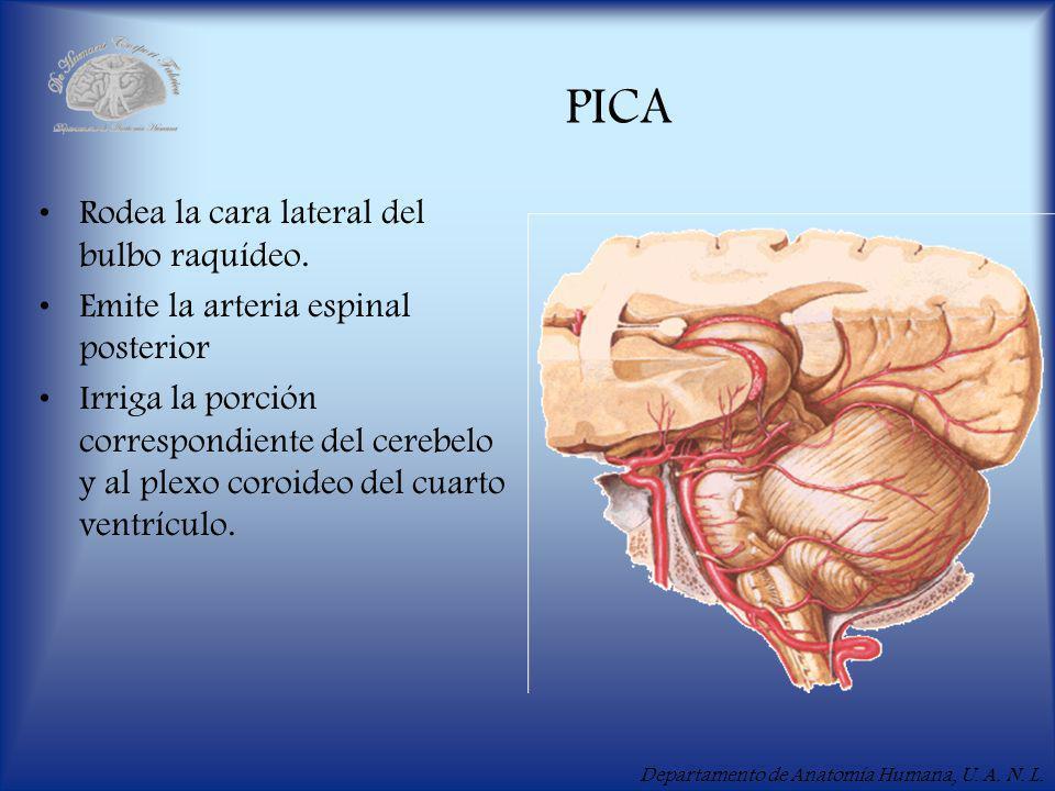 Departamento de Anatomía Humana, U.A. N. L. PICA Rodea la cara lateral del bulbo raquídeo.
