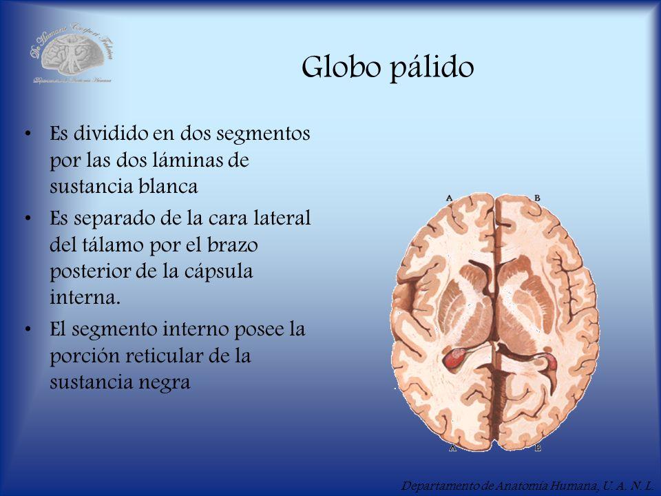 Departamento de Anatomía Humana, U. A. N. L. Globo pálido Es dividido en dos segmentos por las dos láminas de sustancia blanca Es separado de la cara