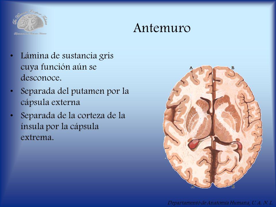 Departamento de Anatomía Humana, U. A. N. L. Antemuro Lámina de sustancia gris cuya función aún se desconoce. Separada del putamen por la cápsula exte