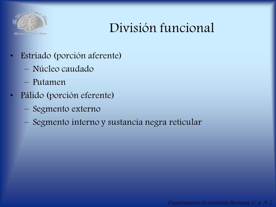 Departamento de Anatomía Humana, U. A. N. L. División funcional Estriado (porción aferente) –Núcleo caudado –Putamen Pálido (porción eferente) –Segmen