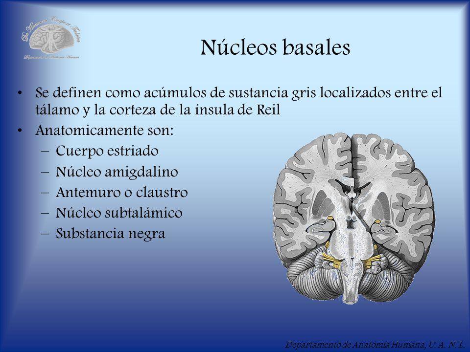 Departamento de Anatomía Humana, U. A. N. L. Núcleos basales Se definen como acúmulos de sustancia gris localizados entre el tálamo y la corteza de la