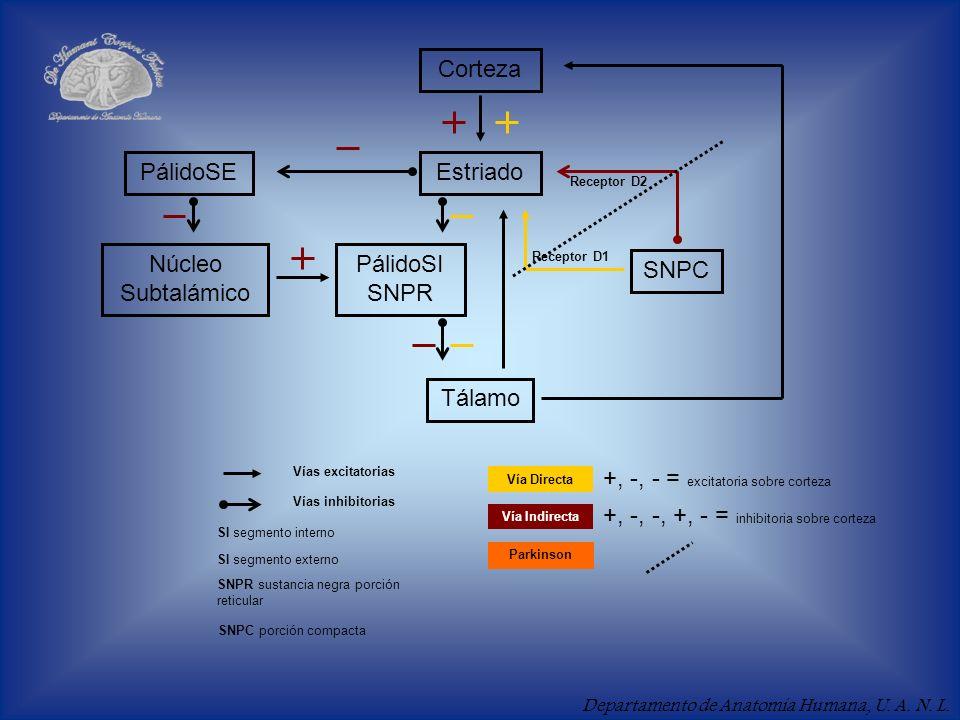 Departamento de Anatomía Humana, U. A. N. L. Corteza EstriadoPálidoSE Núcleo Subtalámico PálidoSI SNPR Tálamo SNPC Vías excitatorias Vías inhibitorias