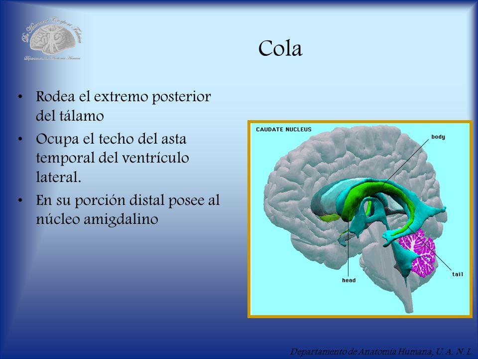 Departamento de Anatomía Humana, U. A. N. L. Cola Rodea el extremo posterior del tálamo Ocupa el techo del asta temporal del ventrículo lateral. En su