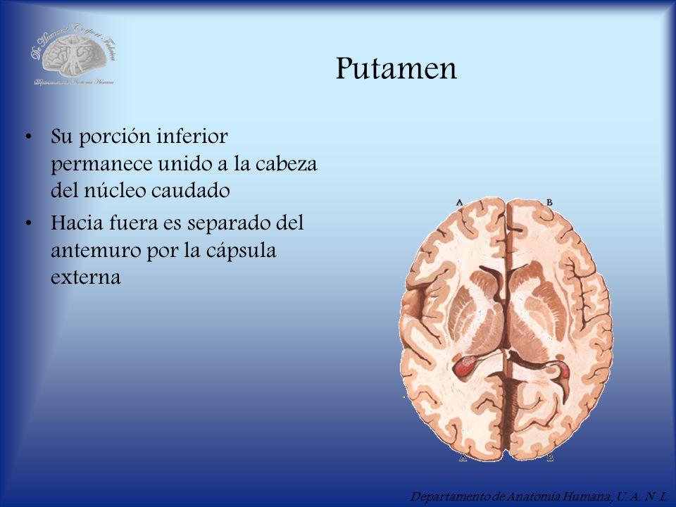 Departamento de Anatomía Humana, U. A. N. L. Putamen Su porción inferior permanece unido a la cabeza del núcleo caudado Hacia fuera es separado del an