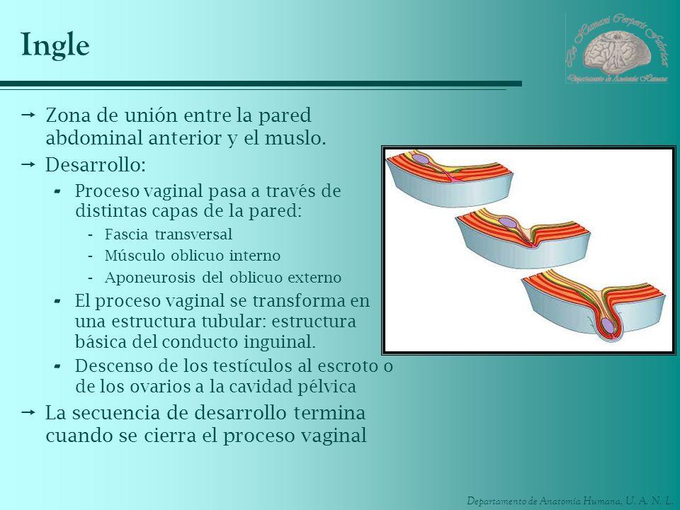 Departamento de Anatomía Humana, U. A. N. L. Ingle Zona de unión entre la pared abdominal anterior y el muslo. Desarrollo: - Proceso vaginal pasa a tr