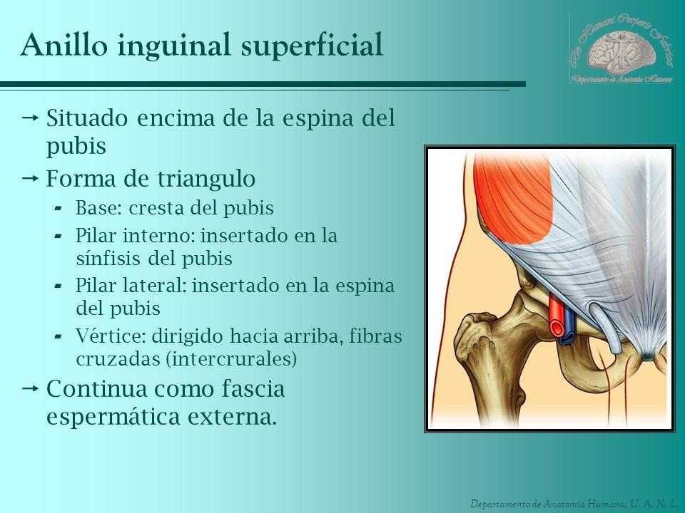 Departamento de Anatomía Humana, U. A. N. L. Anillo inguinal superficial Situado encima de la espina del pubis Forma de triangulo - Base: cresta del p
