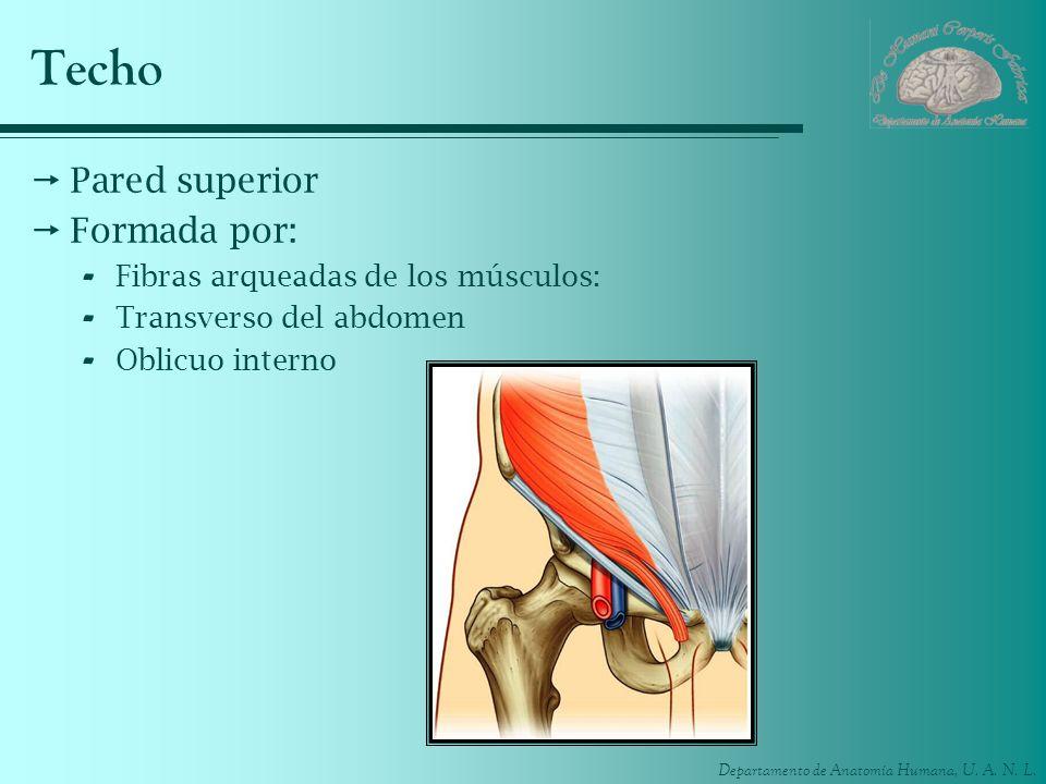 Departamento de Anatomía Humana, U. A. N. L. Techo Pared superior Formada por: - Fibras arqueadas de los músculos: - Transverso del abdomen - Oblicuo