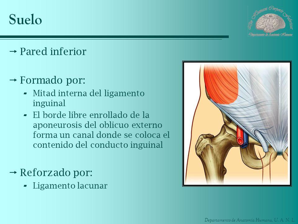 Departamento de Anatomía Humana, U. A. N. L. Suelo Pared inferior Formado por: - Mitad interna del ligamento inguinal - El borde libre enrollado de la