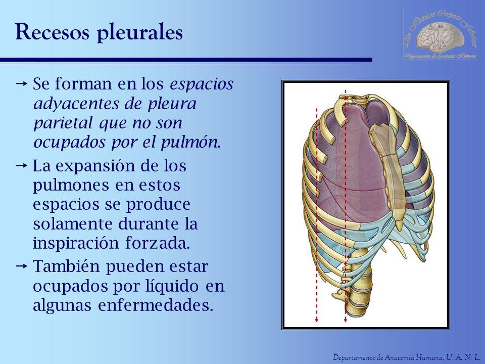 Departamento de Anatomía Humana, U. A. N. L. Recesos pleurales Se forman en los espacios adyacentes de pleura parietal que no son ocupados por el pulm