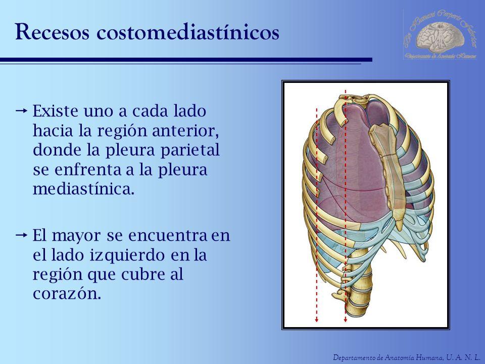 Departamento de Anatomía Humana, U. A. N. L. Recesos costomediastínicos Existe uno a cada lado hacia la región anterior, donde la pleura parietal se e