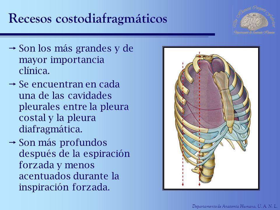 Departamento de Anatomía Humana, U. A. N. L. Recesos costodiafragmáticos Son los más grandes y de mayor importancia clínica. Se encuentran en cada una
