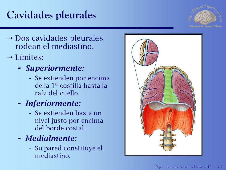 Departamento de Anatomía Humana, U. A. N. L. Cavidades pleurales Dos cavidades pleurales rodean el mediastino. Límites: - Superiormente: -Se extienden