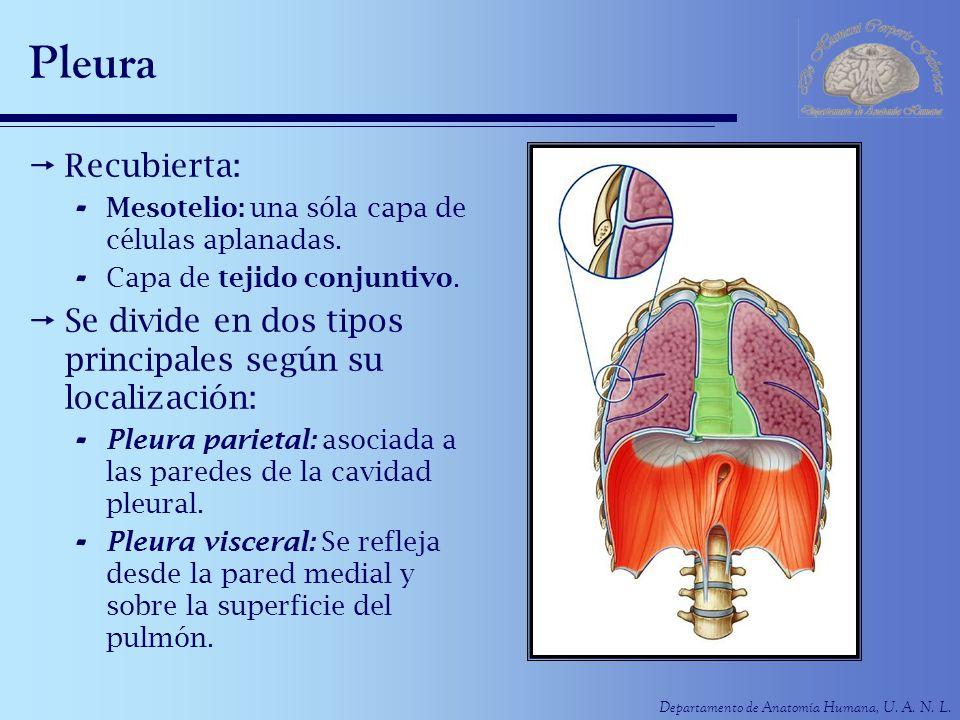 Departamento de Anatomía Humana, U. A. N. L. Pleura Recubierta: - Mesotelio: una sóla capa de células aplanadas. - Capa de tejido conjuntivo. Se divid
