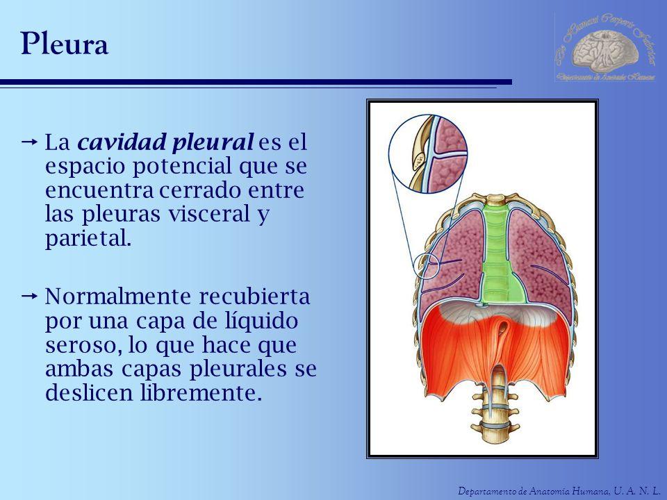 Departamento de Anatomía Humana, U. A. N. L. Pleura La cavidad pleural es el espacio potencial que se encuentra cerrado entre las pleuras visceral y p