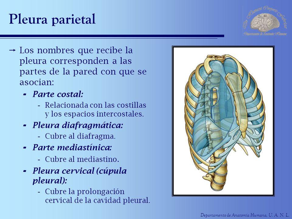 Departamento de Anatomía Humana, U. A. N. L. Pleura parietal Los nombres que recibe la pleura corresponden a las partes de la pared con que se asocian