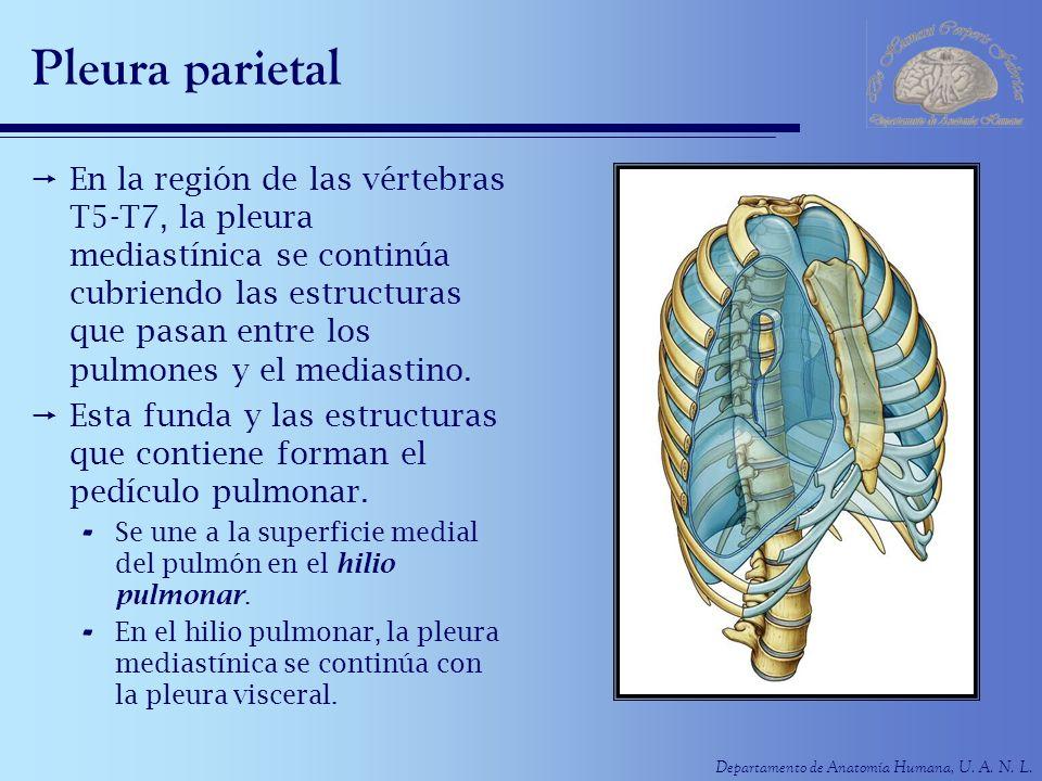 Departamento de Anatomía Humana, U. A. N. L. Pleura parietal En la región de las vértebras T5-T7, la pleura mediastínica se continúa cubriendo las est