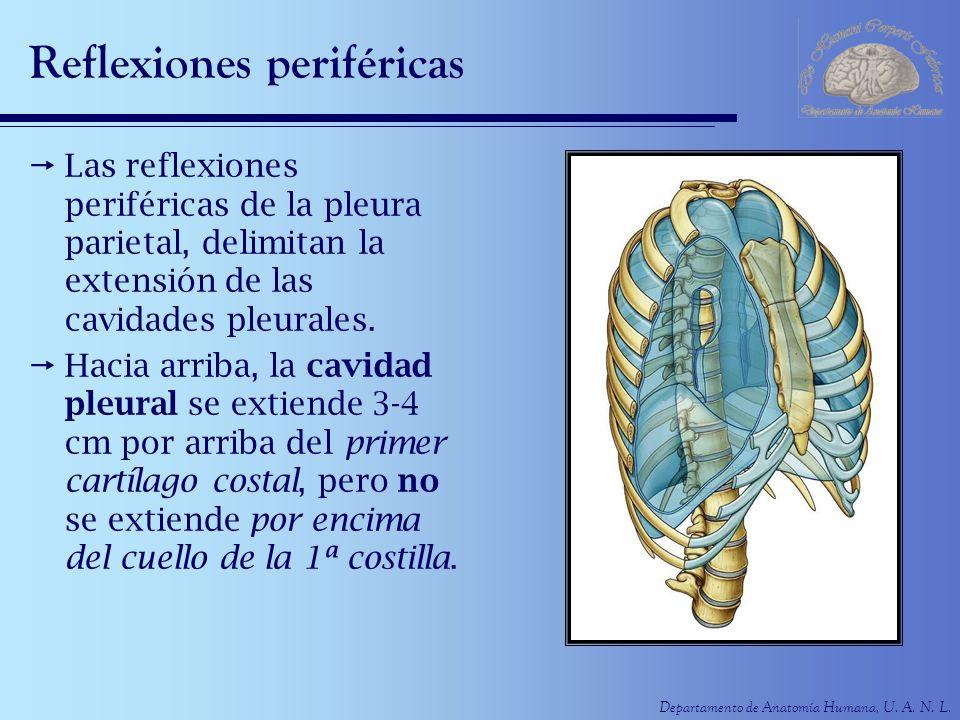 Departamento de Anatomía Humana, U. A. N. L. Reflexiones periféricas Las reflexiones periféricas de la pleura parietal, delimitan la extensión de las