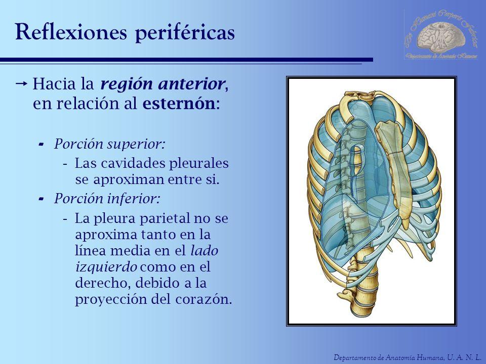 Departamento de Anatomía Humana, U. A. N. L. Reflexiones periféricas Hacia la región anterior, en relación al esternón: - Porción superior: -Las cavid
