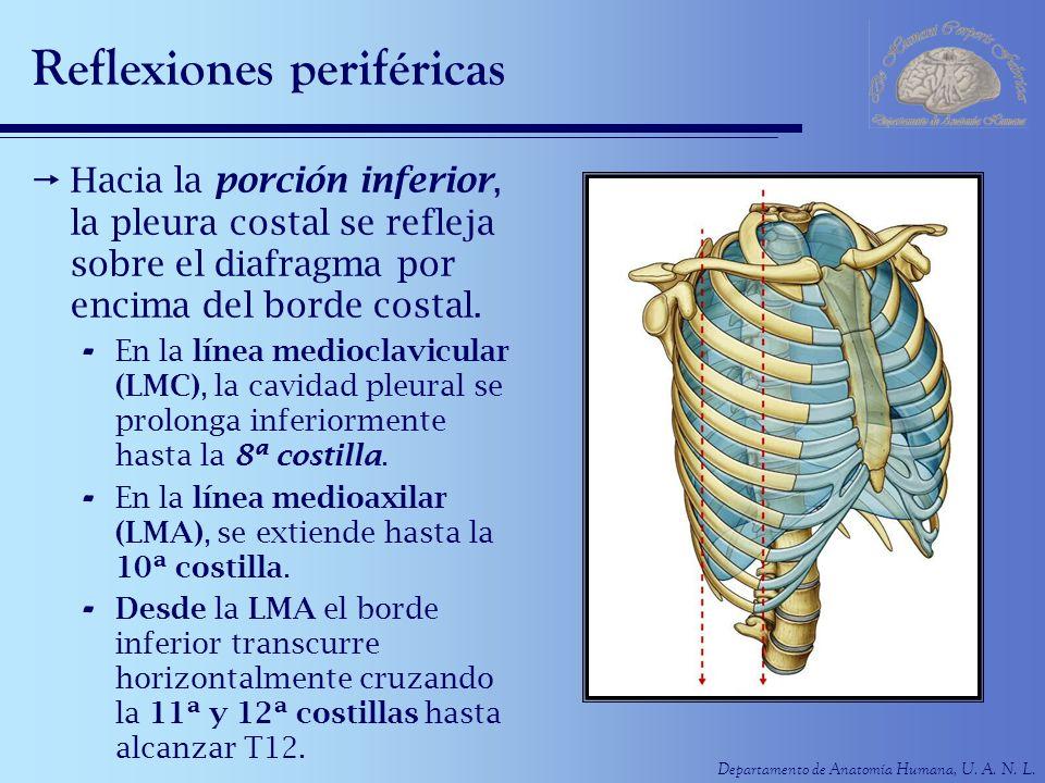 Departamento de Anatomía Humana, U. A. N. L. Reflexiones periféricas Hacia la porción inferior, la pleura costal se refleja sobre el diafragma por enc