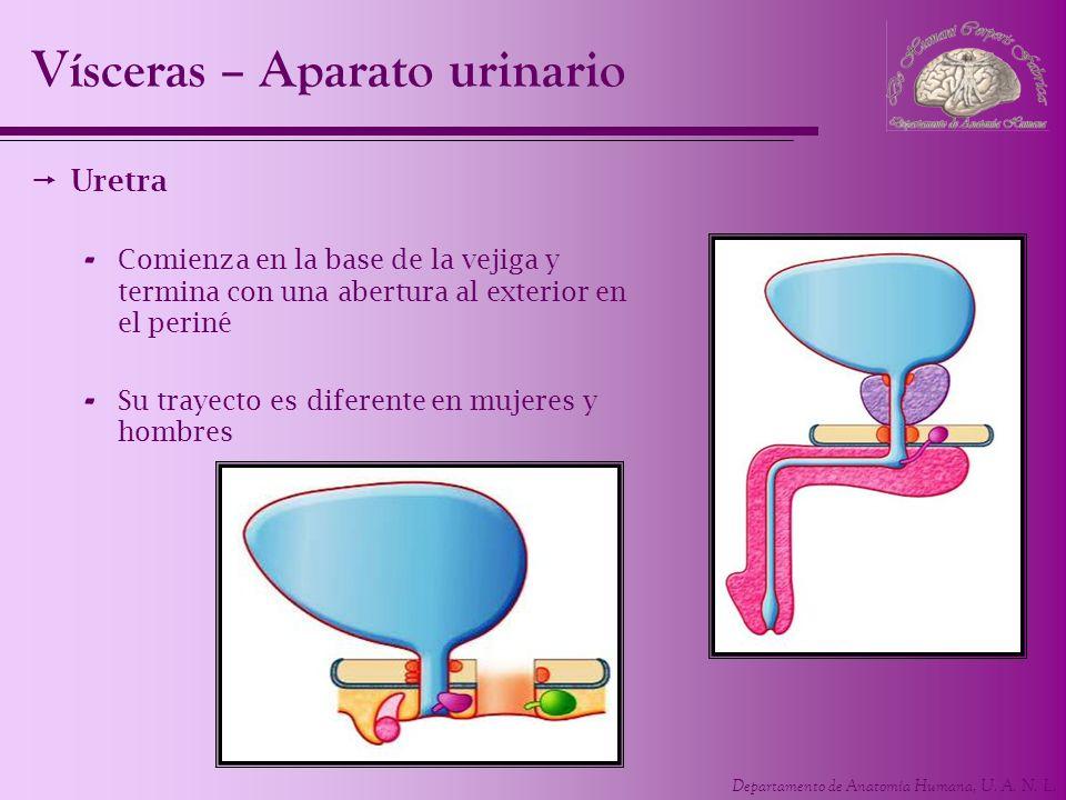 Departamento de Anatomía Humana, U. A. N. L. Uretra - Comienza en la base de la vejiga y termina con una abertura al exterior en el periné - Su trayec