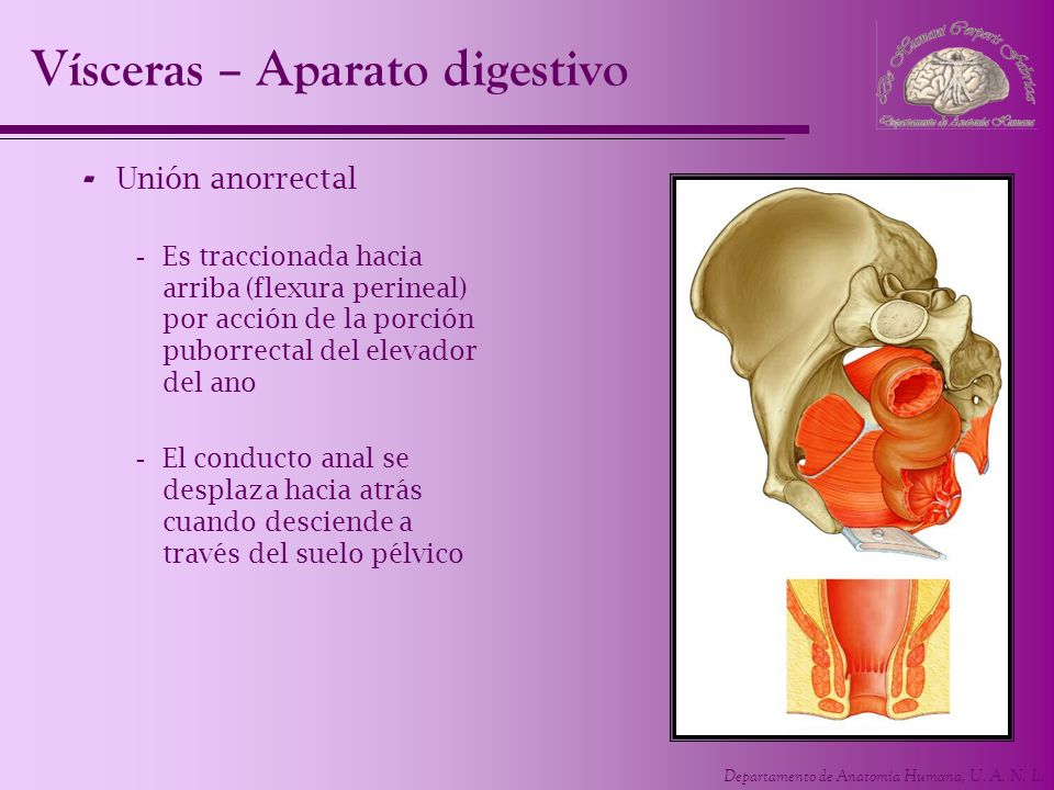 Departamento de Anatomía Humana, U. A. N. L. Vísceras – Aparato digestivo - Unión anorrectal -Es traccionada hacia arriba (flexura perineal) por acció