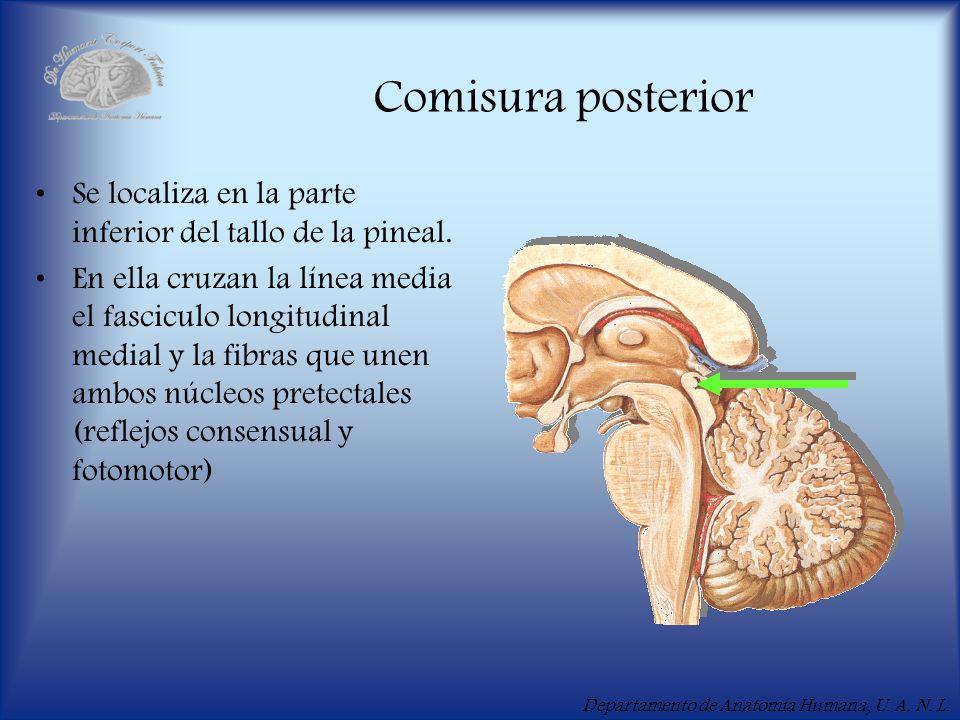 Departamento de Anatomía Humana, U. A. N. L. Comisura posterior Se localiza en la parte inferior del tallo de la pineal. En ella cruzan la línea media