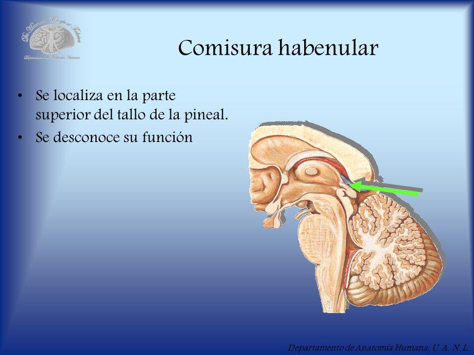 Departamento de Anatomía Humana, U. A. N. L. Comisura habenular Se localiza en la parte superior del tallo de la pineal. Se desconoce su función
