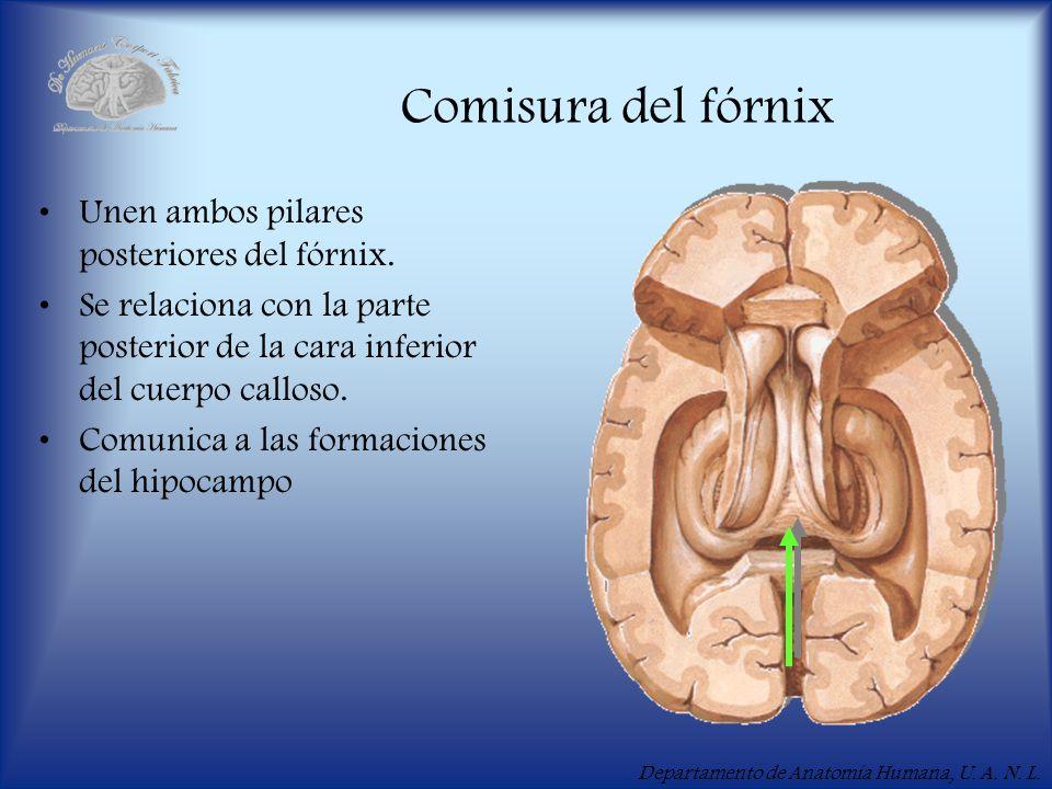 Departamento de Anatomía Humana, U. A. N. L. Comisura del fórnix Unen ambos pilares posteriores del fórnix. Se relaciona con la parte posterior de la