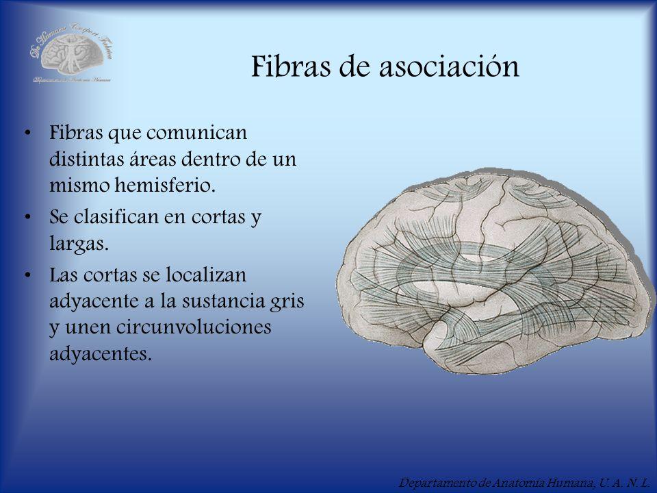 Departamento de Anatomía Humana, U. A. N. L. Fibras de asociación Fibras que comunican distintas áreas dentro de un mismo hemisferio. Se clasifican en
