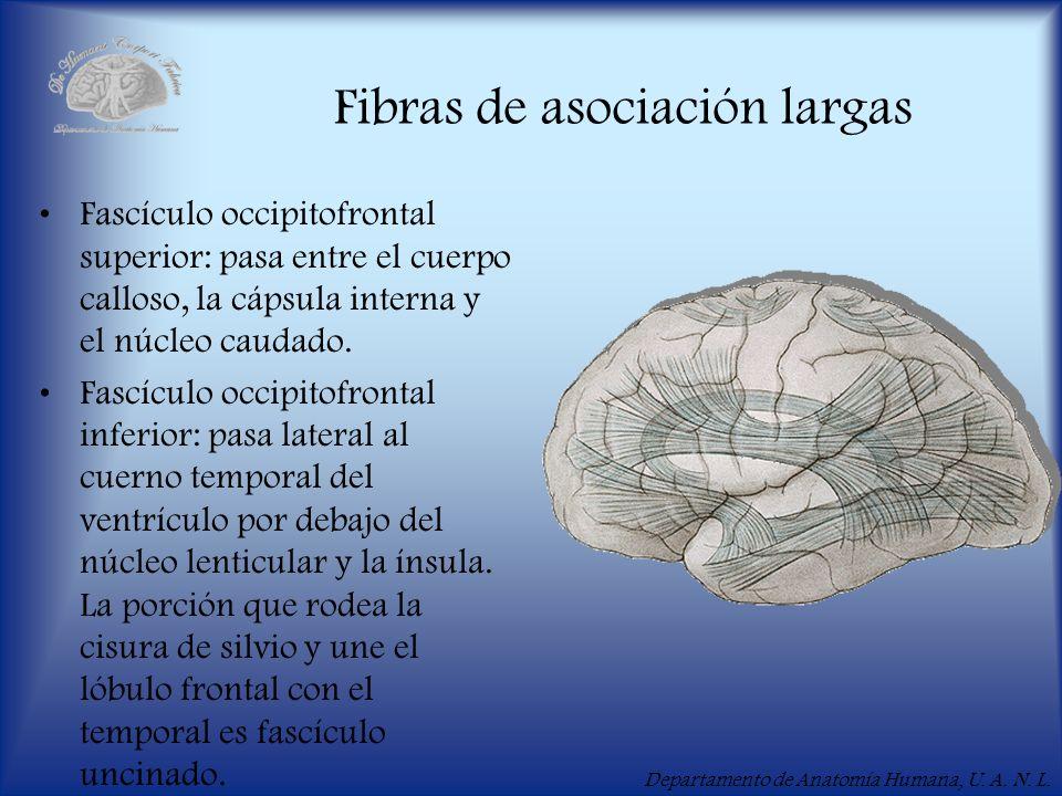 Departamento de Anatomía Humana, U. A. N. L. Fibras de asociación largas Fascículo occipitofrontal superior: pasa entre el cuerpo calloso, la cápsula