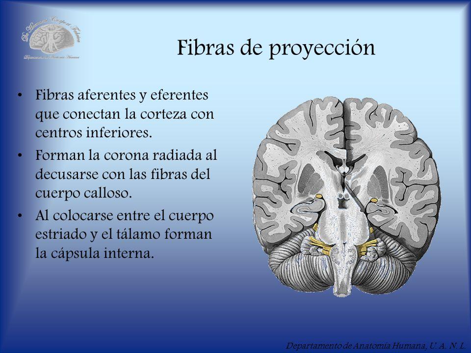 Departamento de Anatomía Humana, U. A. N. L. Fibras de proyección Fibras aferentes y eferentes que conectan la corteza con centros inferiores. Forman